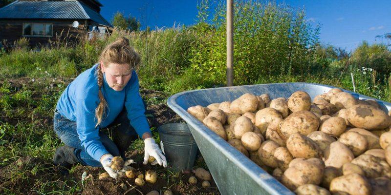Как собрать 10 кг картофеля с 1 кв. м.